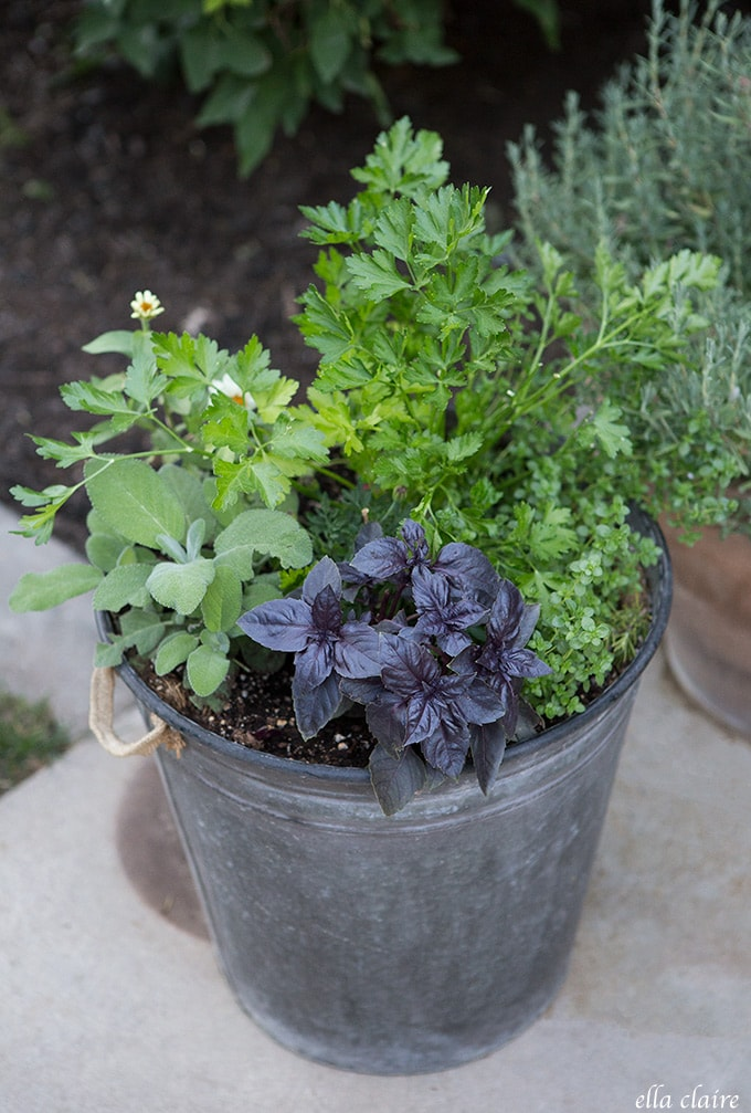 Herbs thrive in pots on the patio